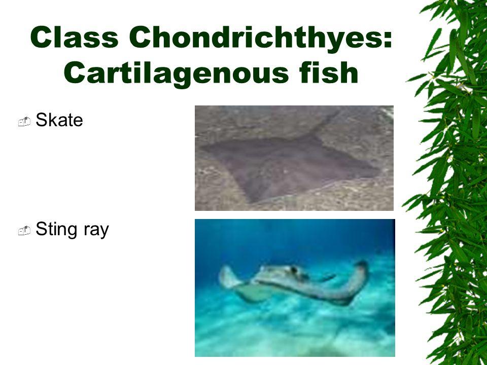 Class Chondrichthyes: Cartilagenous fish