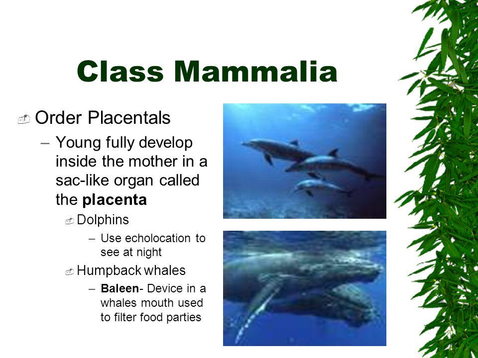 Class Mammalia Order Placentals