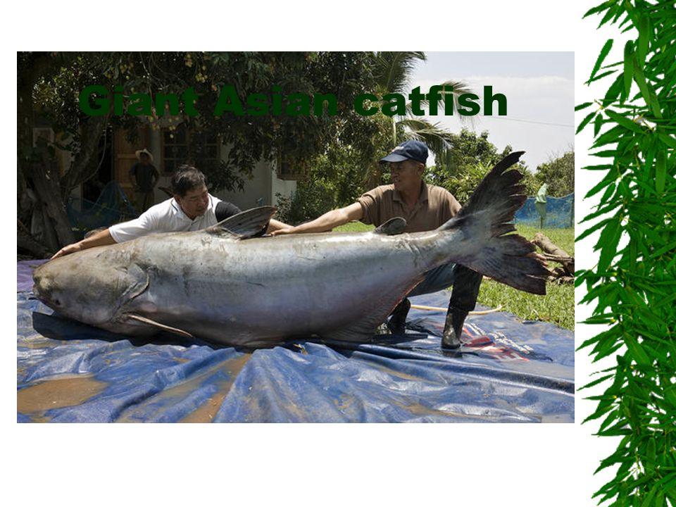 Giant Asian catfish