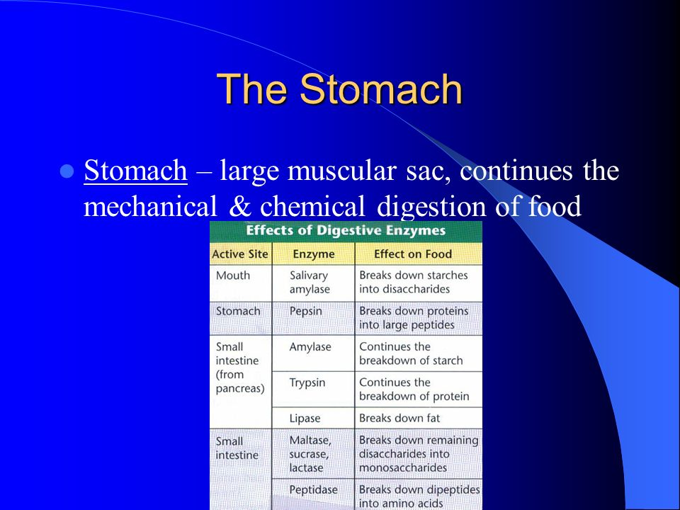 The Stomach Stomach – large muscular sac, continues the mechanical & chemical digestion of food