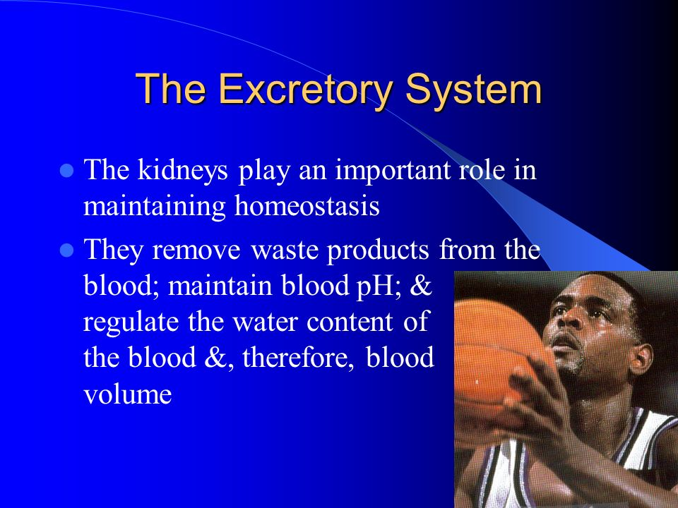 The Excretory System The kidneys play an important role in maintaining homeostasis.