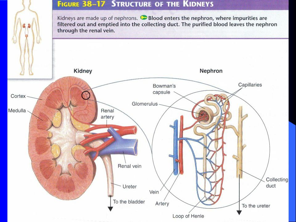 Structure Of The Kidneys