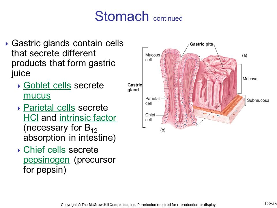 Chapter 18 the digestive system ppt video online download 29 stomach continued gastric glands contain cells ccuart Gallery