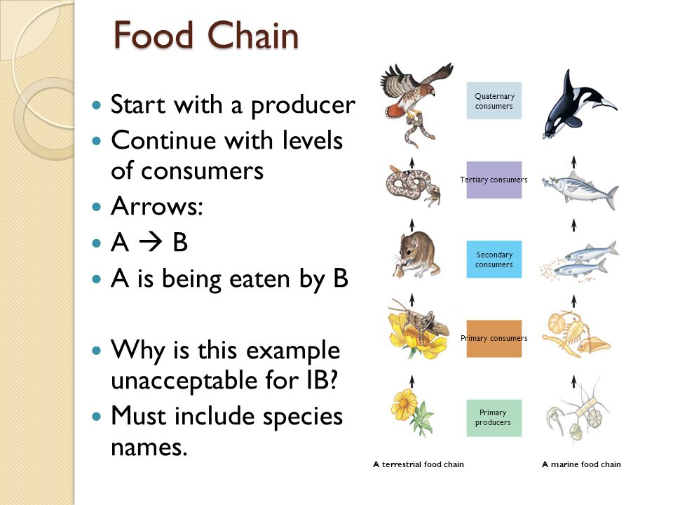 Communities & Ecosystems - ppt download Quaternary Consumer Examples