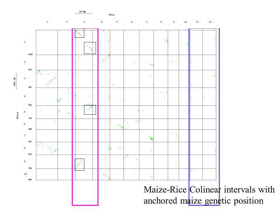 Maize-Rice Colinear intervals with