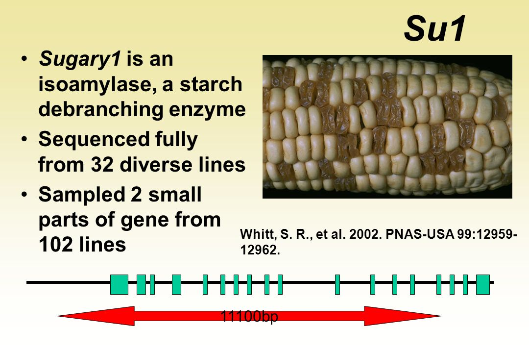 Su1 Sugary1 is an isoamylase, a starch debranching enzyme