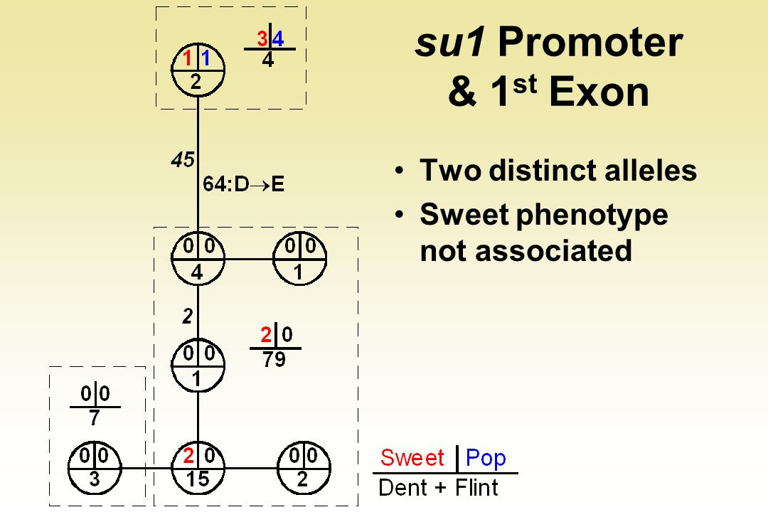 su1 Promoter & 1st Exon Two distinct alleles