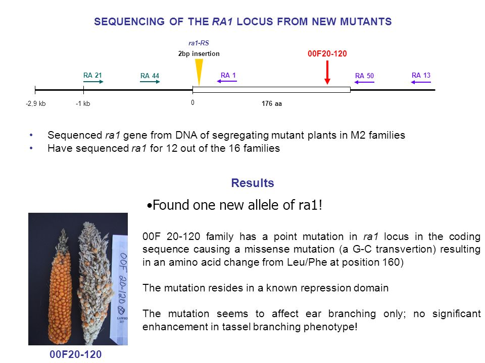 SEQUENCING OF THE RA1 LOCUS FROM NEW MUTANTS