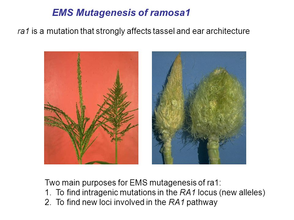 ra1 is a mutation that strongly affects tassel and ear architecture