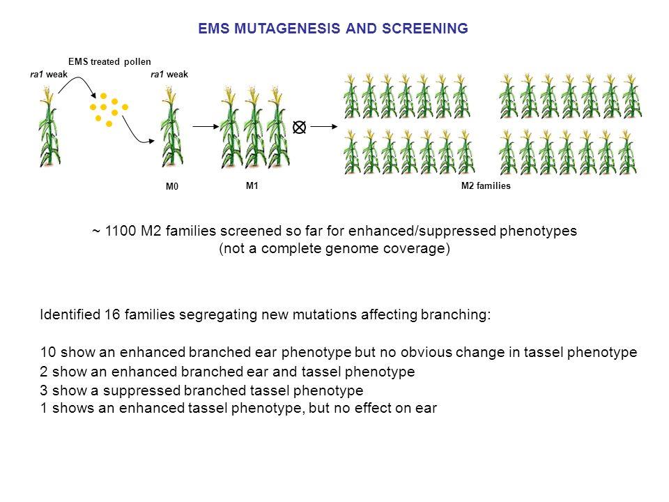 EMS MUTAGENESIS AND SCREENING