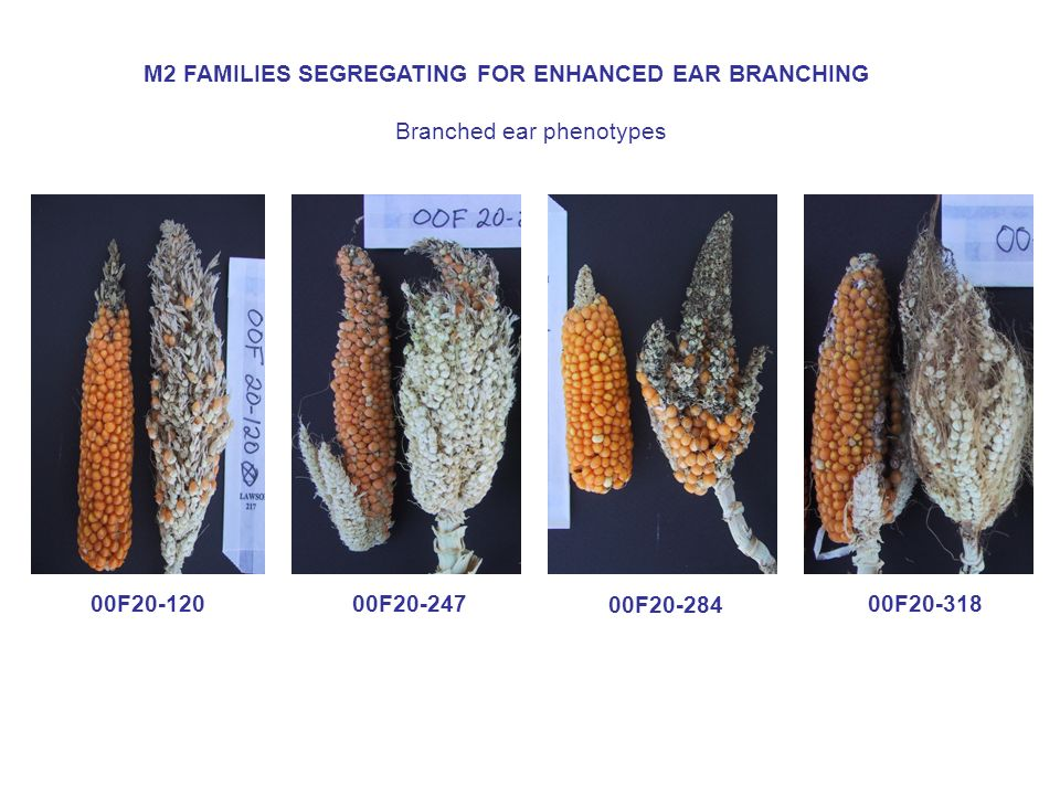 M2 FAMILIES SEGREGATING FOR ENHANCED EAR BRANCHING