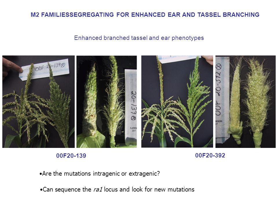 M2 FAMILIESSEGREGATING FOR ENHANCED EAR AND TASSEL BRANCHING