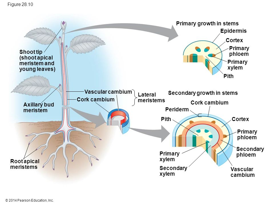 overview of cork cambium essay In woody plants, the cork cambium is the outermost lateral meristem it produces new cells towards the interior, which enables the plant to increase in girth the cork cambium also.