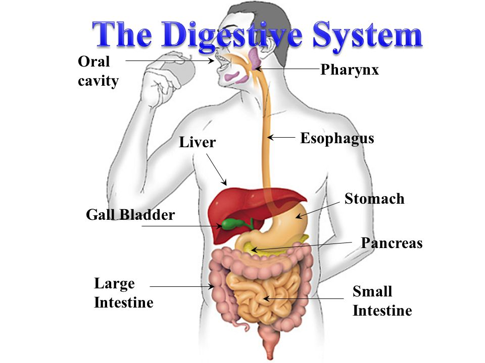 The Digestive System Oral Cavity Pharynx Esophagus Liver Stomach
