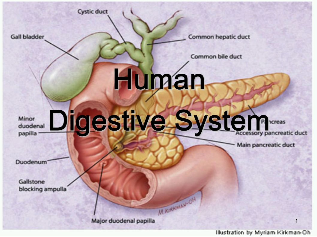 Human Digestive System - ppt video online download