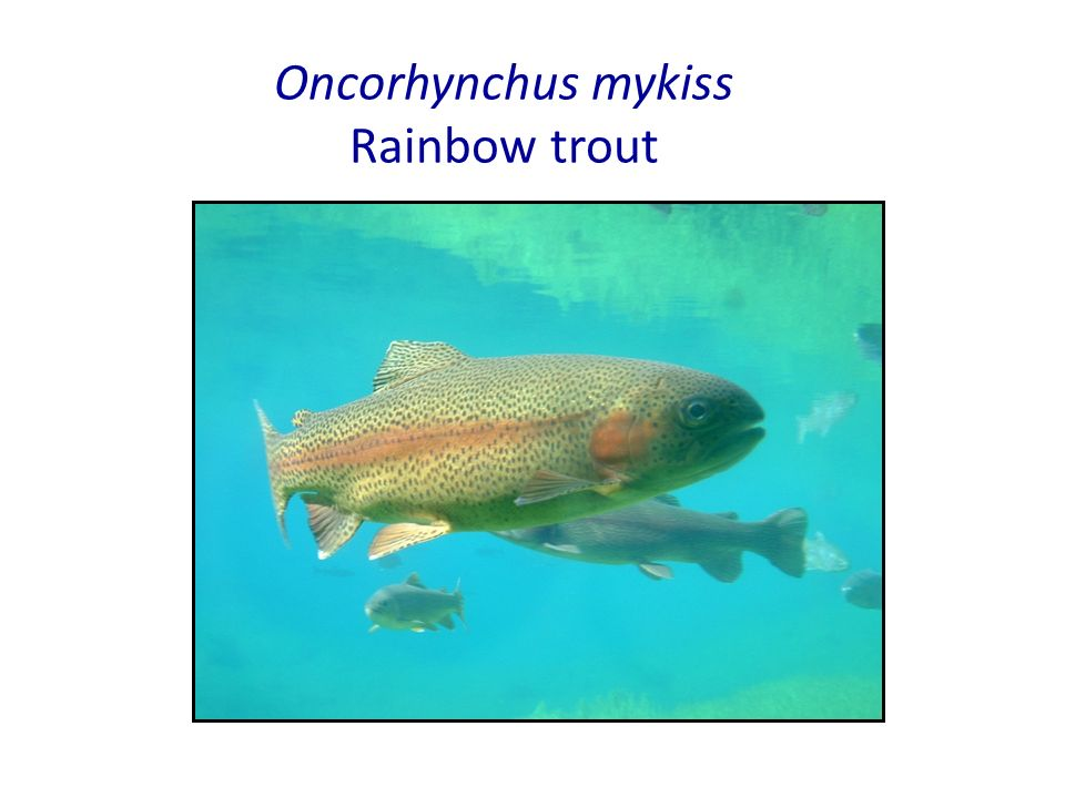 Oncorhynchus mykiss Rainbow trout - ppt video online download