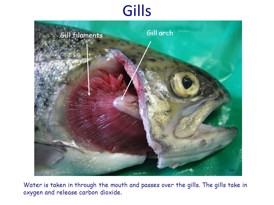 Gills Gill arch Gill filaments