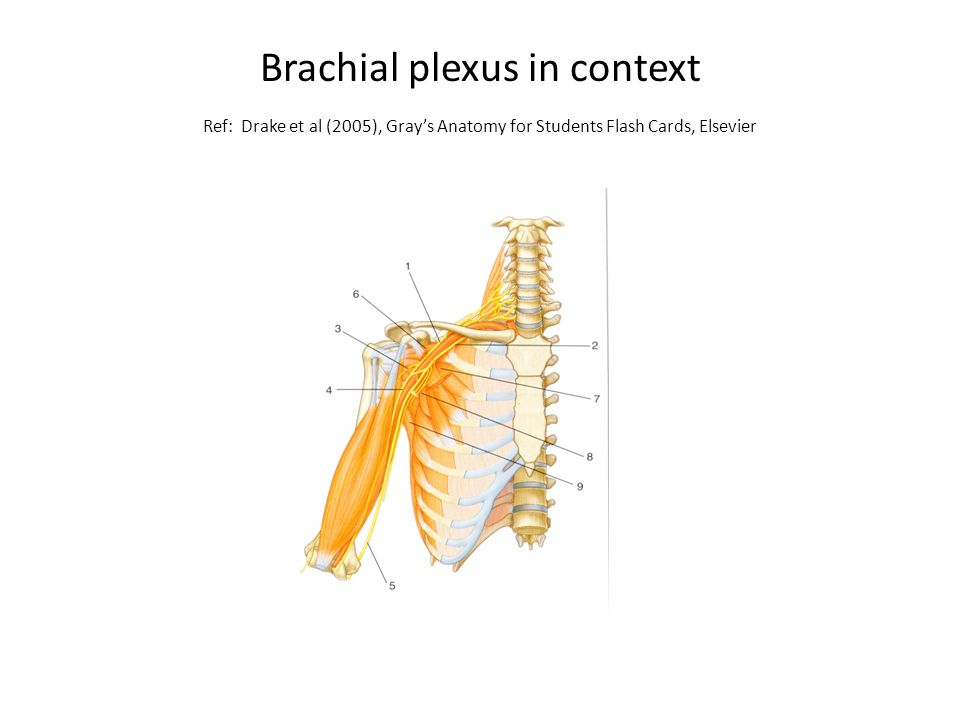 Nerve Supply Of The Upper Limb Ppt Video Online Download