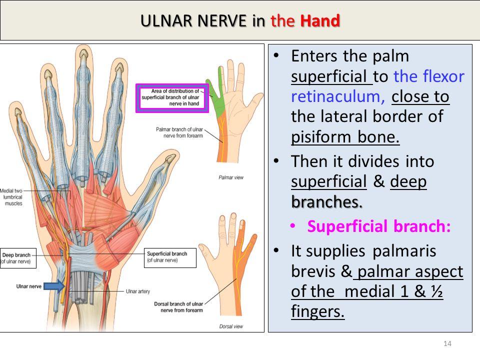 ulnar nerve - photo #41