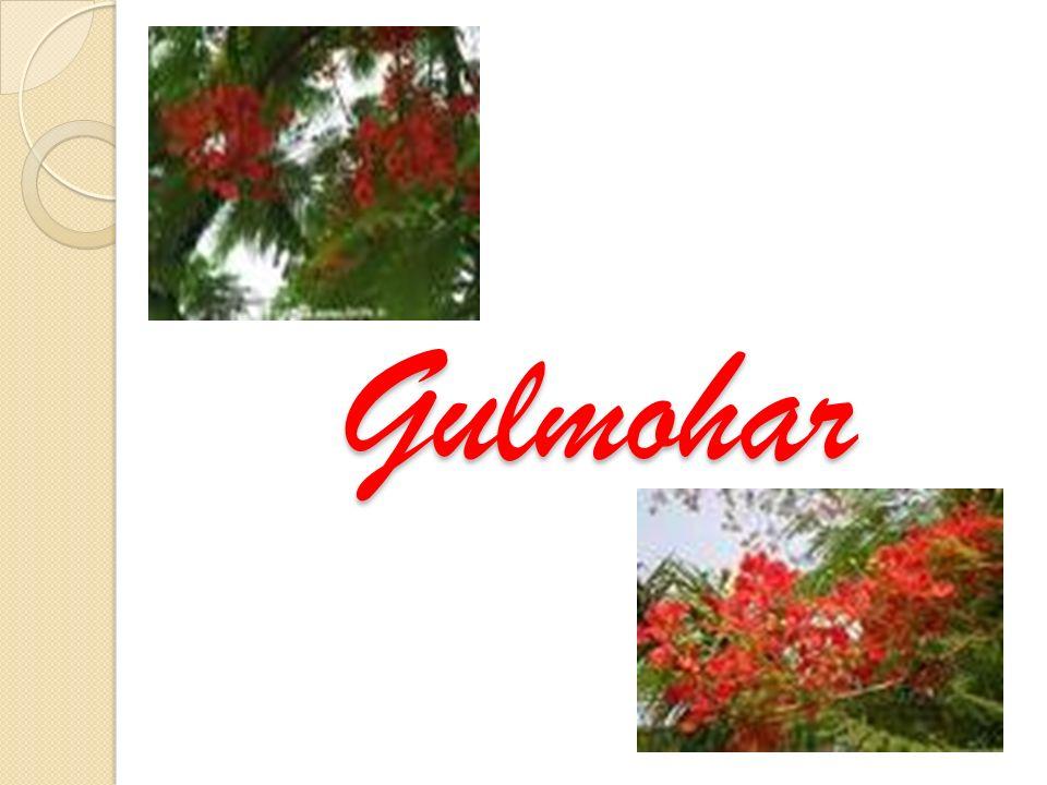 Gulmohar