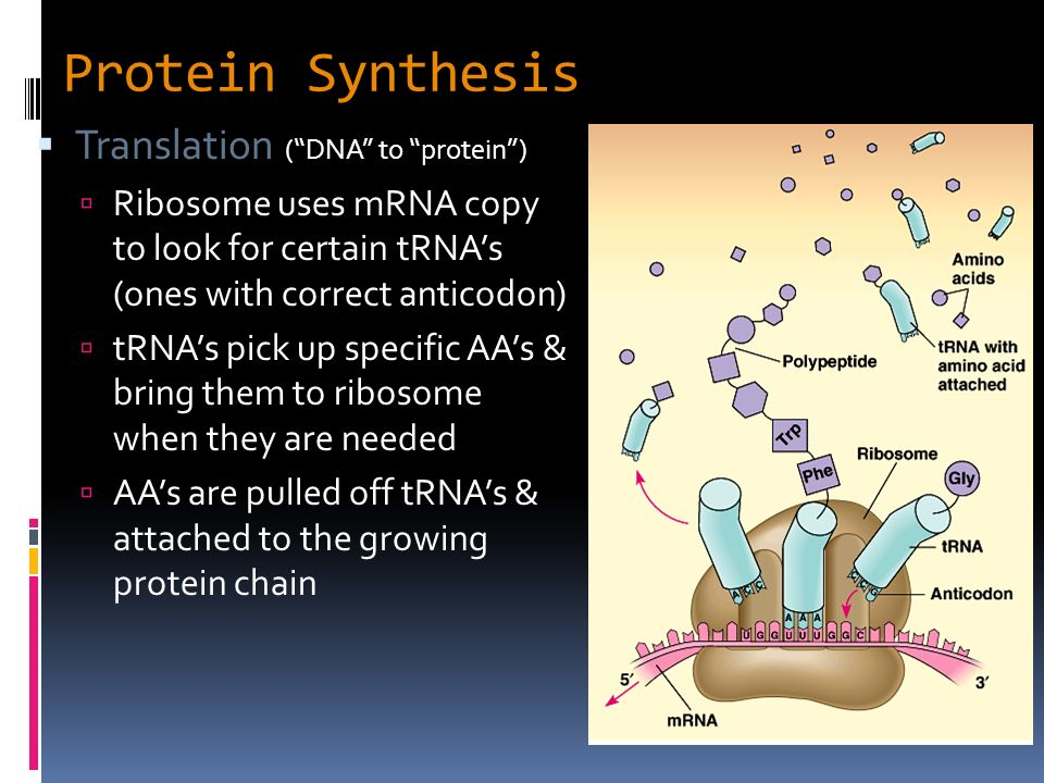 a look at the process of protein synthesis Protein synthesis by nick zagorski 1 and toshifumi inada and colleagues recently took a look at this process in addition to synthesizing the protein.