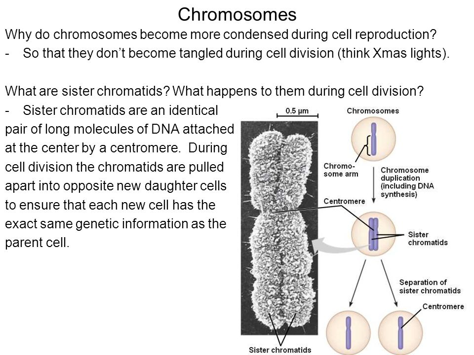 the positioning of chromosomes during cell Bora regulates meiotic spindle assembly and cell cycle during mouse oocyte meiosis  and mii spindle positioning  chromosomes that align during meiosis i.