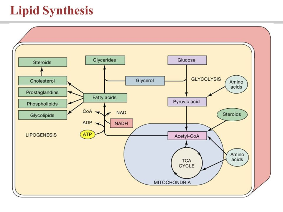 lipid sythesis Overview of lipid metabolism: the major aspects of lipid metabolism are involved with fatty acid oxidation to produce energy or the synthesis of lipids which is called lipogenesis.