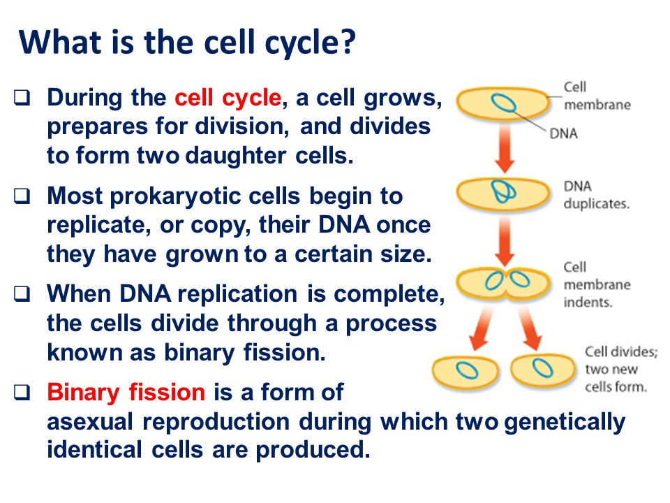 Why is mitosis a form of asexual reproduction Nude Photos 92