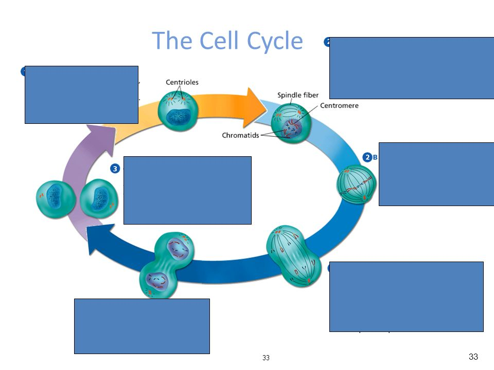 cell reproduction essay Binary fission and other forms of reproduction in  we hope to gain an understanding of how this novel form of cell reproduction developed over time and how it.