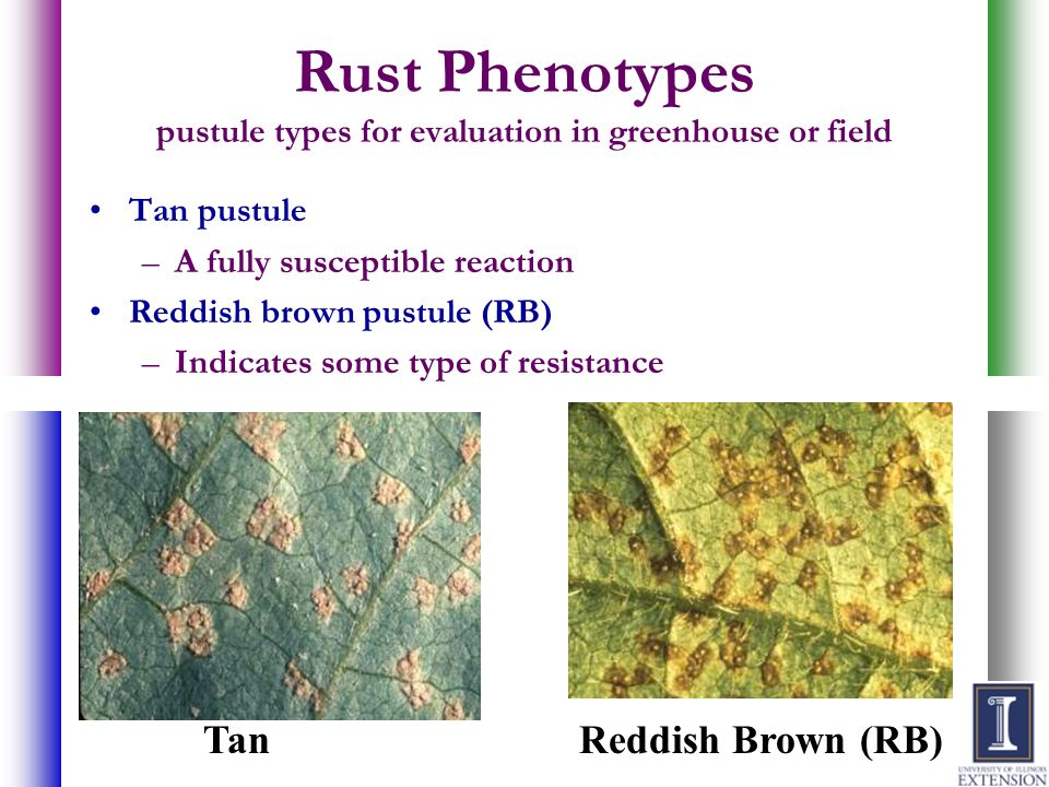 Rust Phenotypes pustule types for evaluation in greenhouse or field
