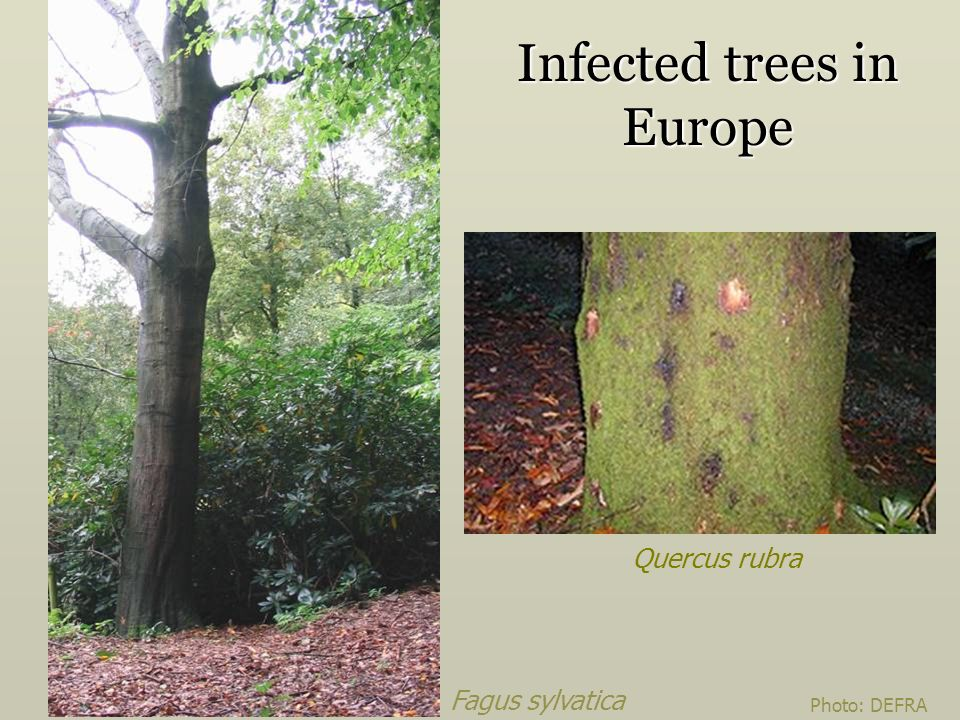 Infected trees in Europe