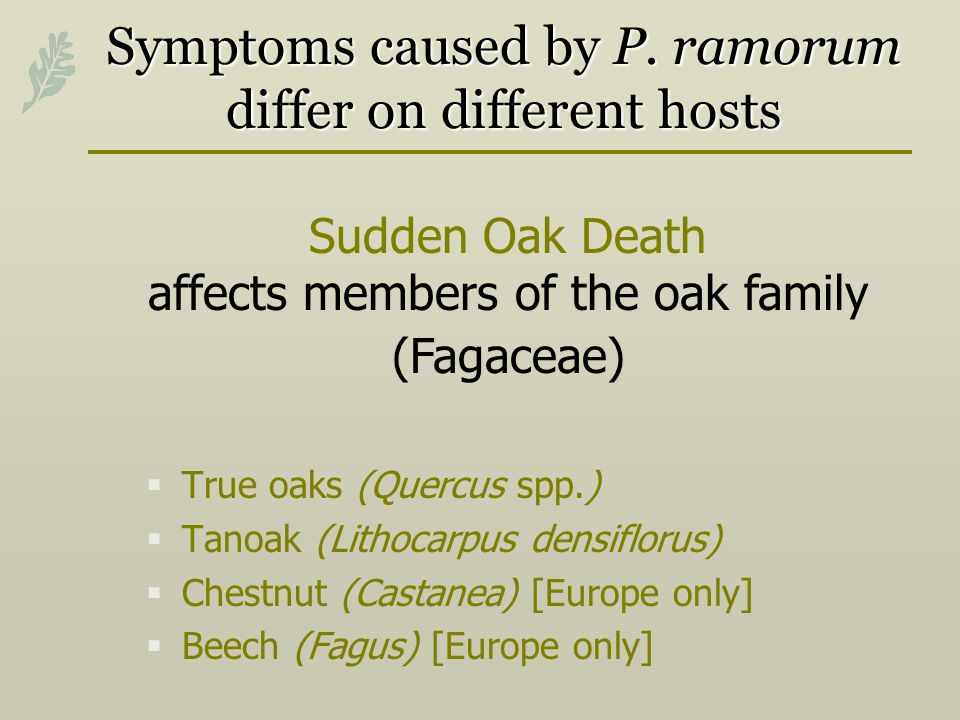 Symptoms caused by P. ramorum differ on different hosts