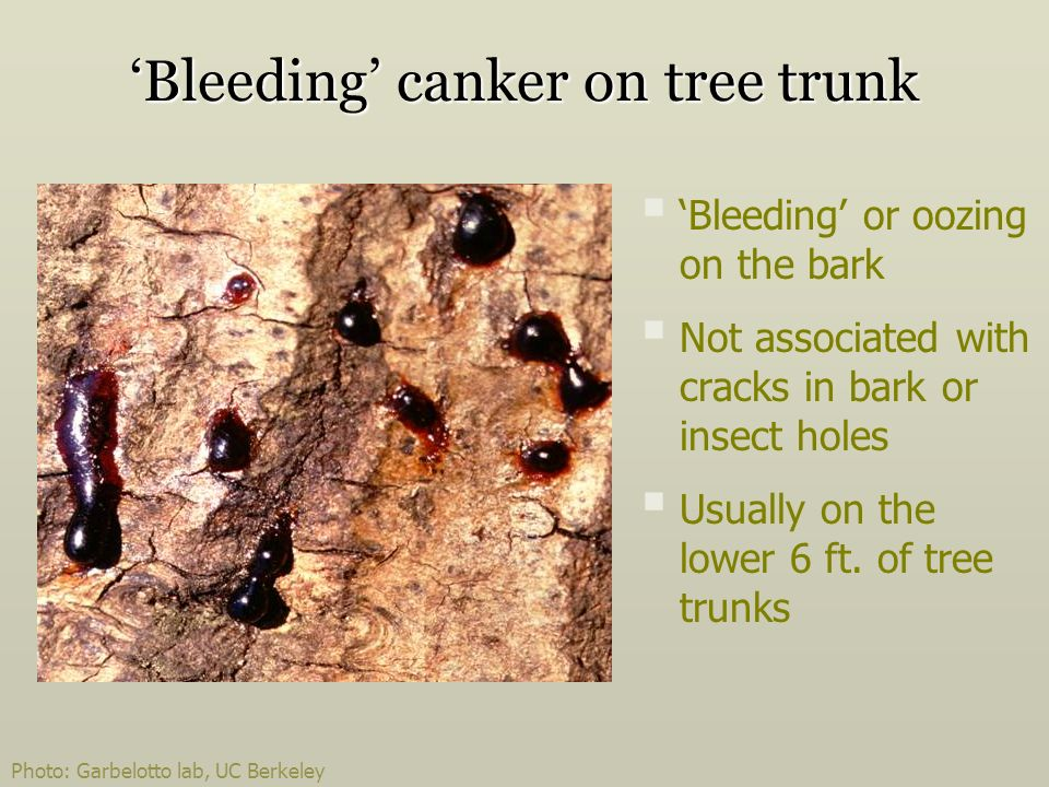 'Bleeding' canker on tree trunk