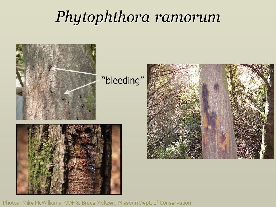Phytophthora ramorum bleeding