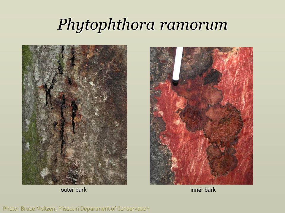 Phytophthora ramorum outer bark inner bark
