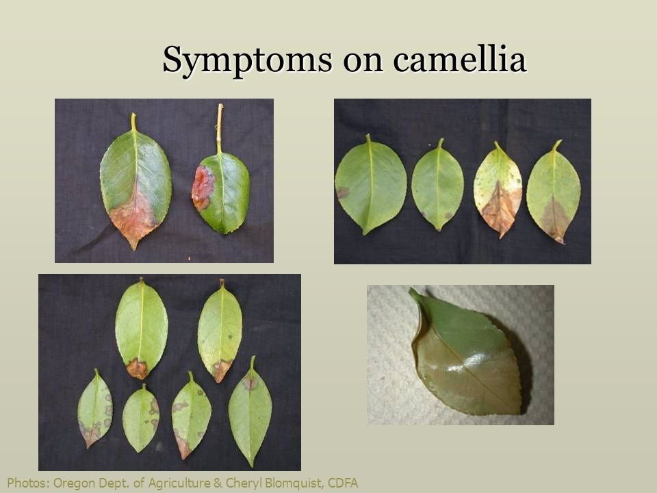 Symptoms on camellia Slide 34.