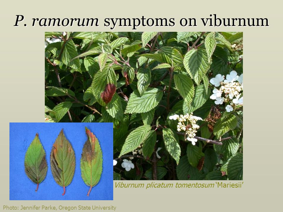P. ramorum symptoms on viburnum