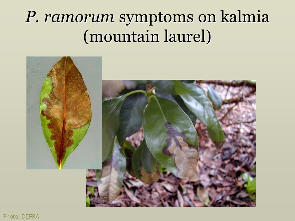 P. ramorum symptoms on kalmia (mountain laurel)