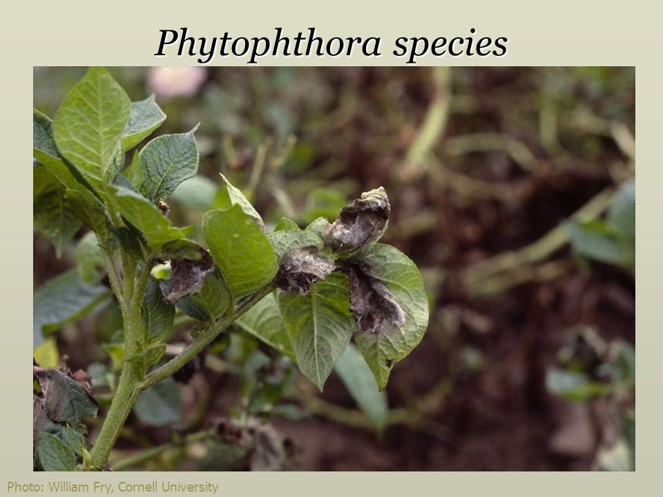 Phytophthora species Photo: William Fry, Cornell University