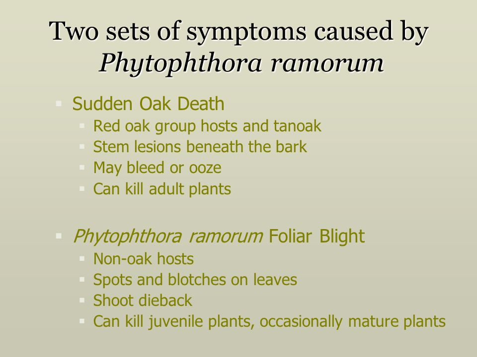 Two sets of symptoms caused by Phytophthora ramorum