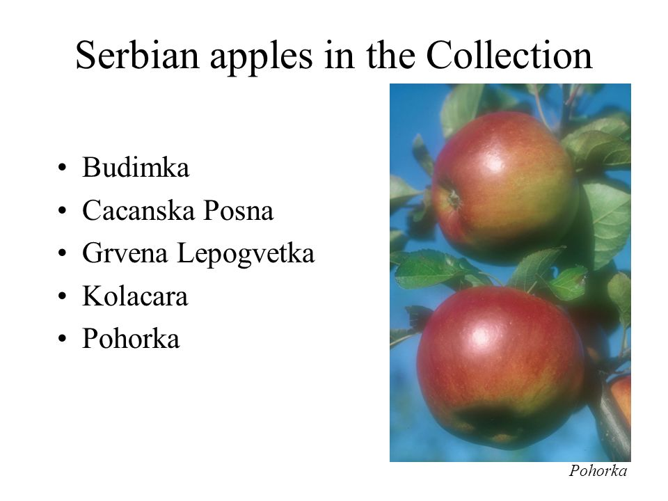 Serbian apples in the Collection