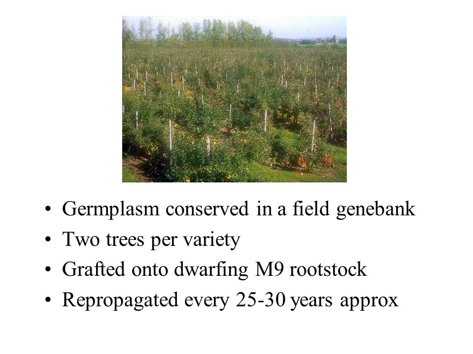 Germplasm conserved in a field genebank