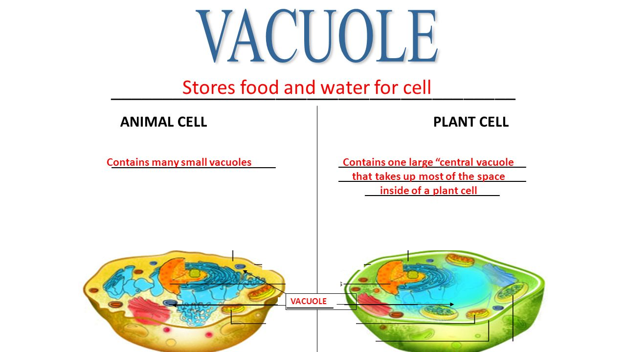 What Stores Food Water And Waste In A Cell