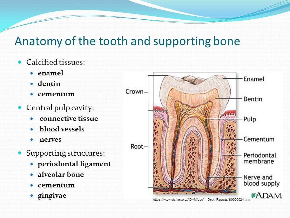 Functional Anatomy Of The Oral Cavity And Dentition Ppt Video