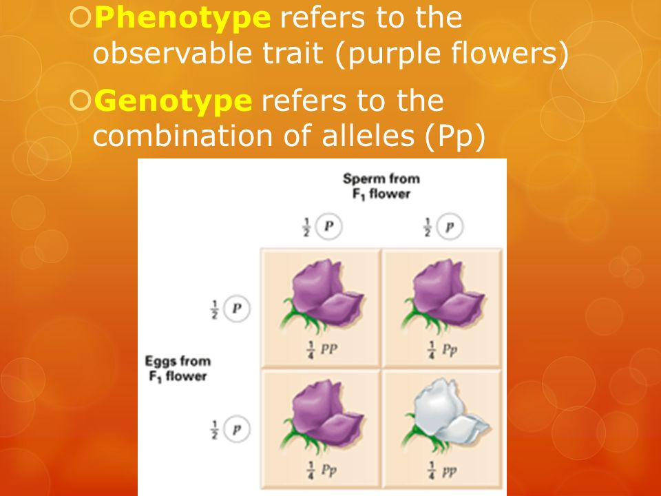 Phenotype refers to the observable trait (purple flowers)