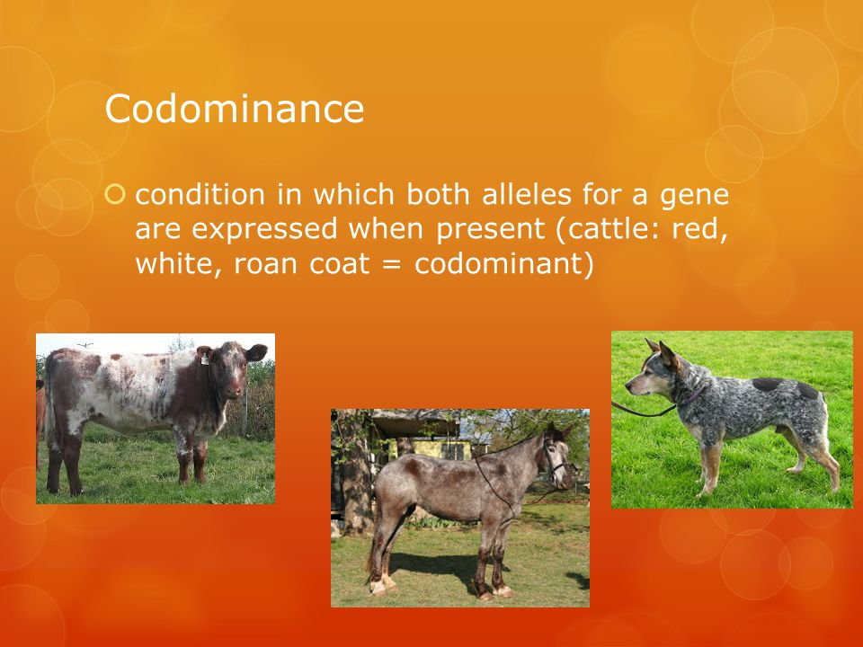 condition in which both alleles for a gene are expressed when present (cattle: red, white, roan coat = codominant)
