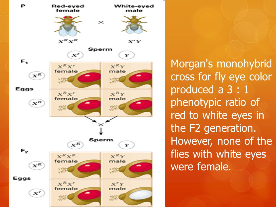 Morgan s monohybrid cross for fly eye color produced a 3 : 1 phenotypic ratio of red to white eyes in the F2 generation.