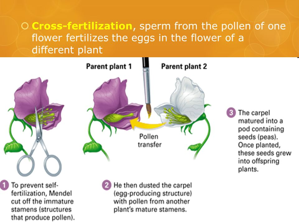 Cross-fertilization, sperm from the pollen of one flower fertilizes the eggs in the flower of a different plant