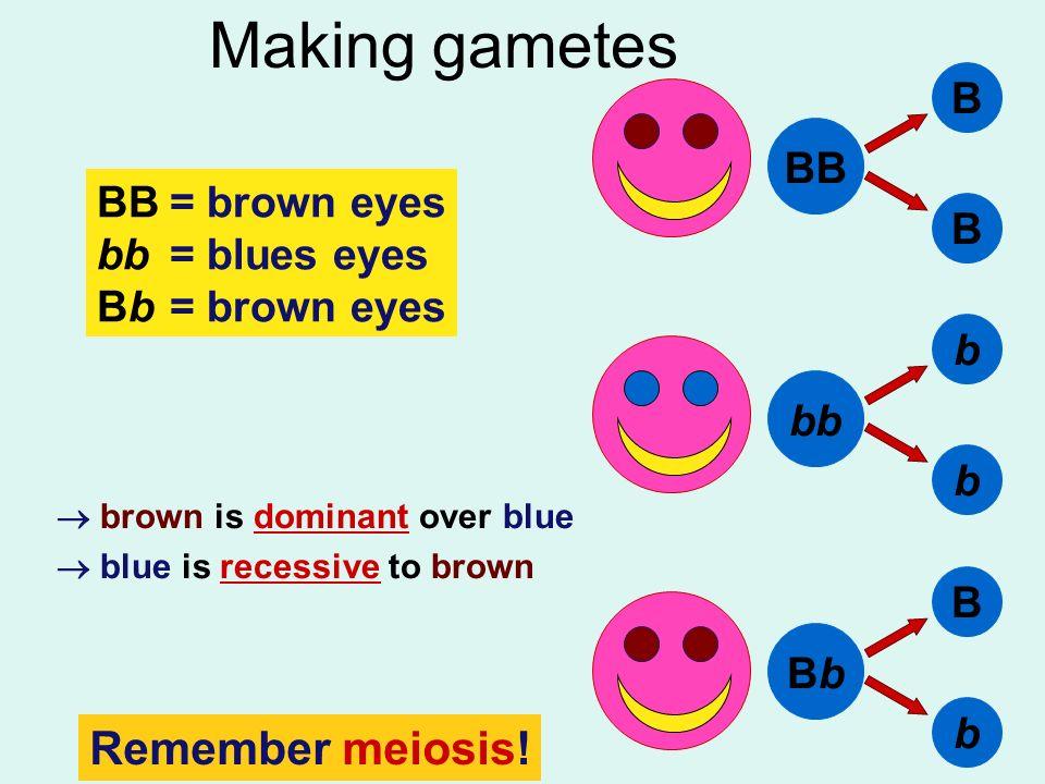 Making gametes Remember meiosis! B BB BB = brown eyes bb = blues eyes