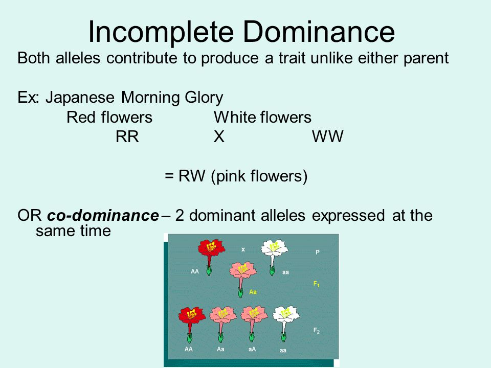 Incomplete Dominance Both alleles contribute to produce a trait unlike either parent. Ex: Japanese Morning Glory.